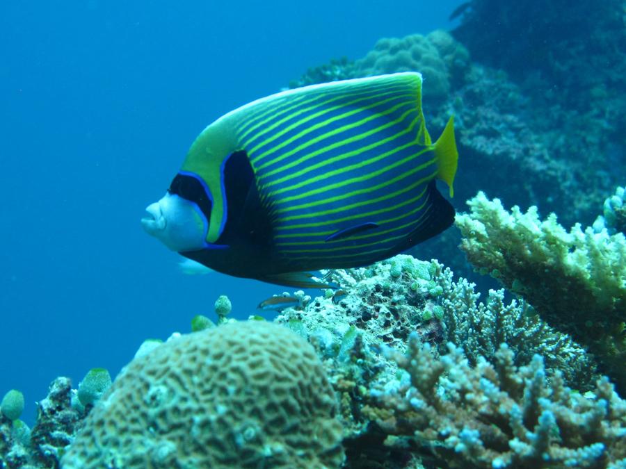 Angel Fish – Swim with turtles Gold Coast
