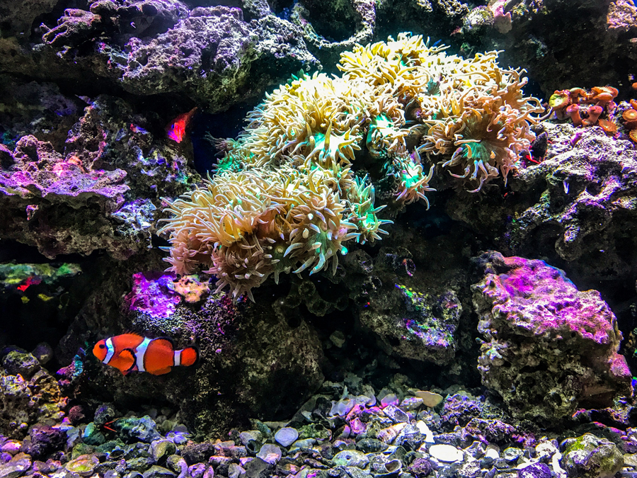 Clown Fish – Swim with turtles Gold Coast