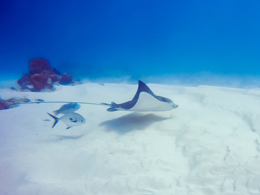 Sting ray – Swim with Turtles Gold Coast