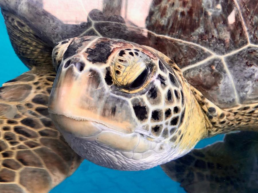 Green Sea Turtle – Swim with turtles Gold Coast