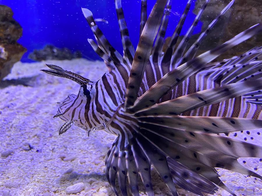 Lion Fish – Swim with turtles Gold Coast